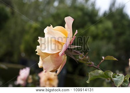 Photo Of Delicate Peach-colored Rose On Blurred Natural Background