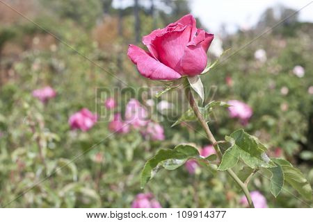 Photo Of Pink Rose On Blurred Natural Background