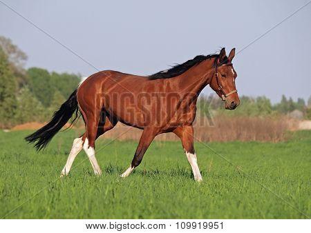 Beautiful pinto horse trots