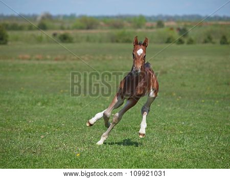 Beautiful little bay foal galloping