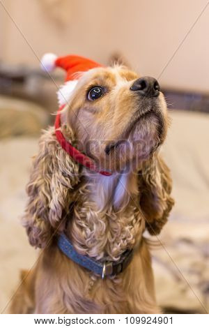 Pedigree dogs are dressed nicely for Christmas and New Year