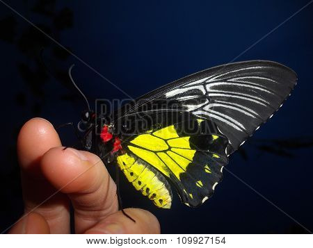 The golden birdwing butterfly on the exhibition of butterflies