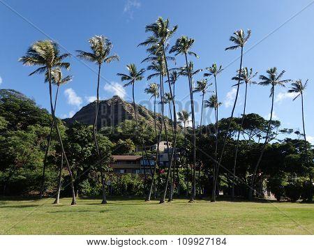 Tall Coconut Trees At Leahi Beach Park