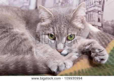 The Gray Cat With Green Eyes Lies On A Woolen Plaid And Longs