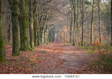 Path In Forrest