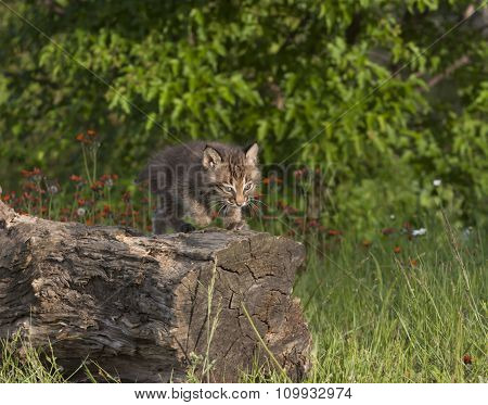 Bobcat Kitten on a Log