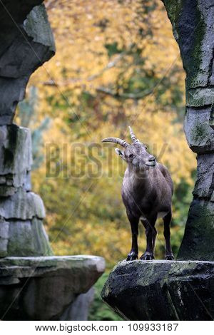 Alpine Ibex With An Autumn Colored Background