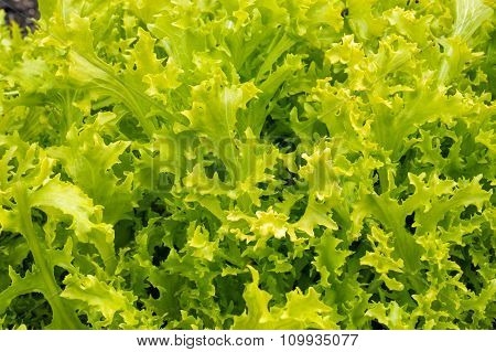 Fresh lettuce in natural settings