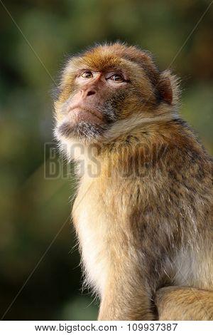Macaca Sylvanus
