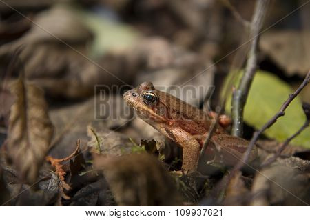 Northern Red-Legged Frog. Rana Aurora.