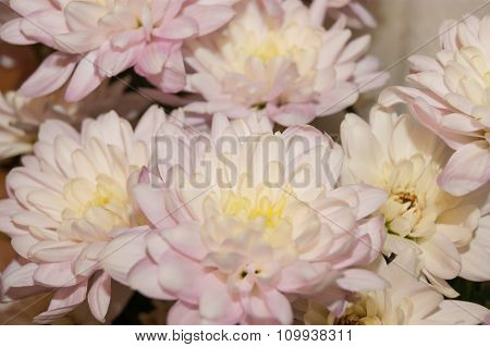 Pink Spray Chrysanthemums