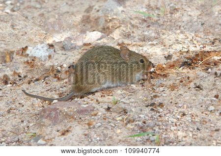 White-throated Woodrat (neotoma Albigula)