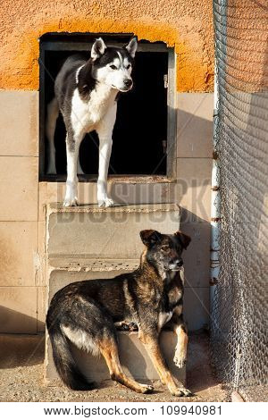 Two dogs, one of them Siberian husky looking one derection behind fence in a dog shelter.