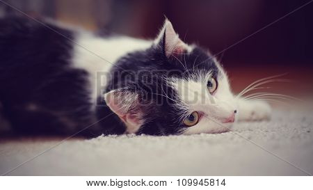Portrait White With Black The Domestic Cat