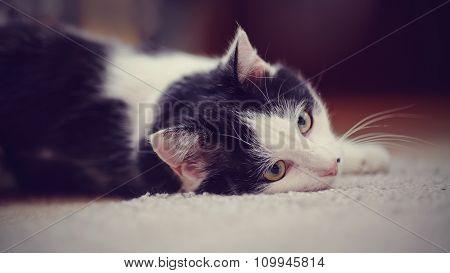 Portrait White With Black The Domestic Cat