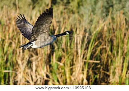 Canada Goose Flying Low Over The Water