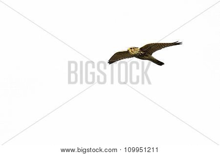 Merlin Falcon Flying On A White Background