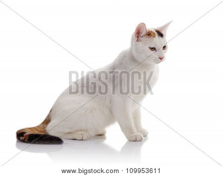 The White Domestic Cat With A Multi-colored Tail