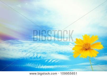 Beautiful yellow cosmos flower on blue sky background with sun light