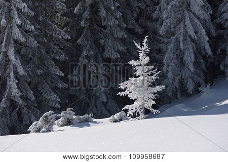 Winter landscape on a sunny day. Tree in snow. Forest on a mountain hill. Carpathians, Ukraine, Europe