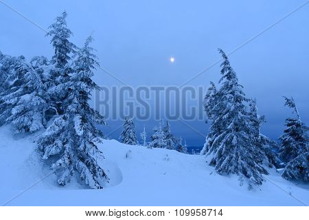 Spruce forest in winter. Landscape with moonlight at dusk. Carpathians, Ukraine, Europe