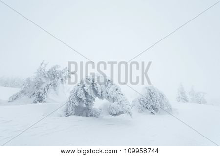 Christmas landscape. Snow covered trees on the mountain hills. Cloudy day. Carpathians, Ukraine, Europe