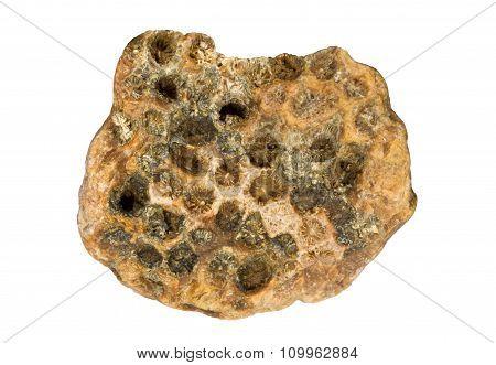 Fossilized hexacorallia of Carboniferous period