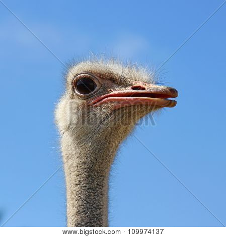 head ostrich semi profile