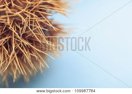 Spiky chestnut shell with bright blue background