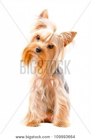 Curious Yorkshire terrier
