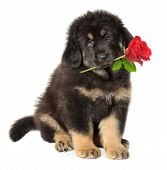 image of dog-rose  - Puppy dog holding red rose in its mouth isolated on white - JPG
