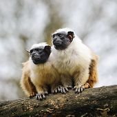 Portrait Of Two Adult  Pied Tamarins poster