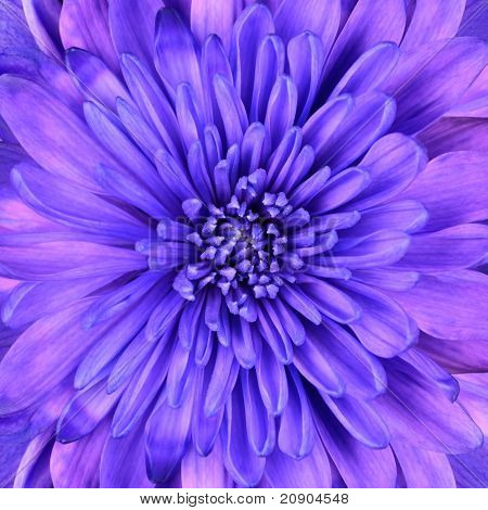 Blue Chrysanthemum Flower Head Closeup Detail
