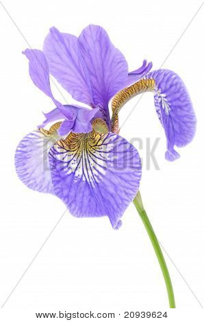Beautiful Purple Iris