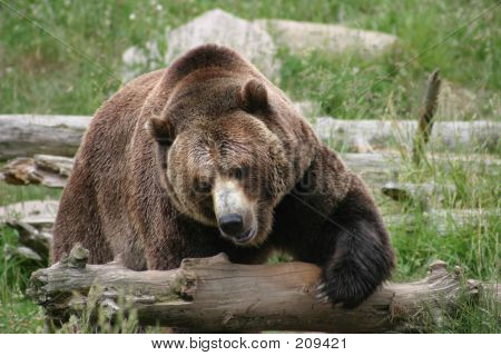 Massive Brown Bear