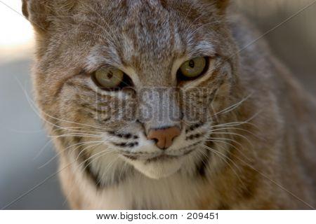 Bobcat Facial Portrait