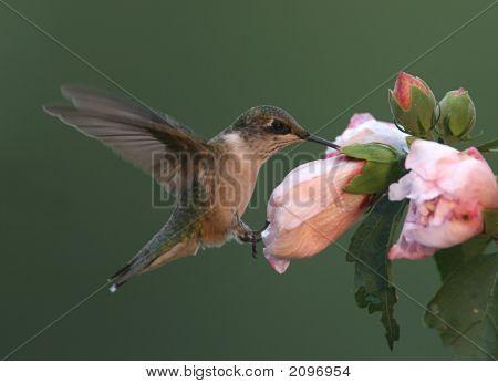 Colibrí garganta de rubí alimentándose de hibisco