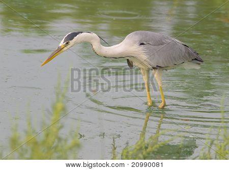 great grey heron looking for food / Ardea cinerea
