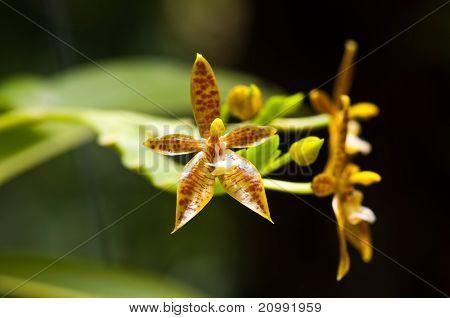 Phalaenopsis cornu-cervi Orchid