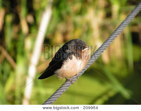 Young Barn Swallow