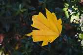 Yellow Maple Leaf On Autumn Blurred Background. poster