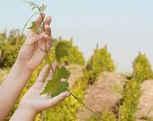 stock photo of moscato  - female hand holding a vine on the background of the vineyard - JPG