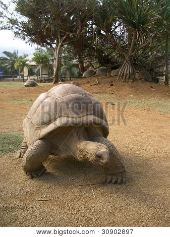 Giant turtle from Seychelles