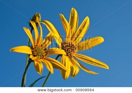 Yellow Wildflower Against Blue Sky