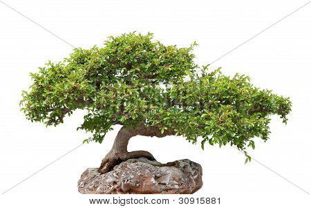 Green Bonsai Tree Growing On A Rock
