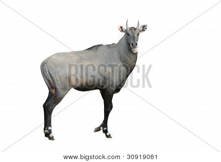 this is eland  isolated on white background