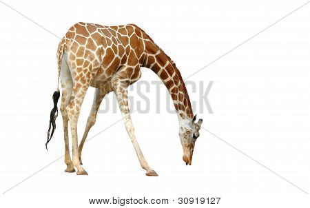 this is giraffe isolated on white background