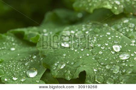 Wet Green Leaf Detail