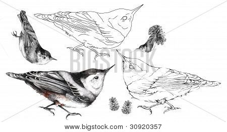 Nuthatch Illustration Set