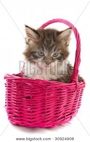 Playing Maine Coon kitten in pink basket